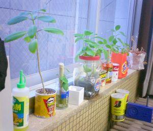 家から戻ってきた鉢植え。全部沖縄産。陽だまりの民も持ってきたけど、それはモニターの上。