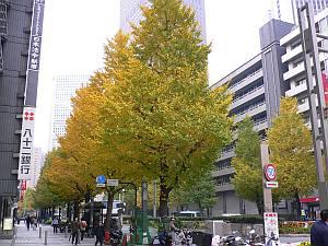 西口ヨドバシ横の並木が綺麗。