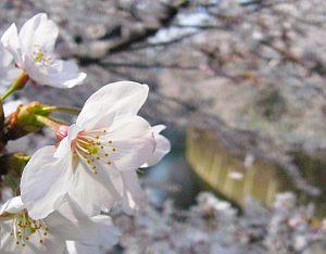 ウチの周りじゃここが一番咲いてる。