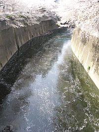 神田川の川面に桜の花びらが。