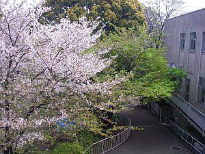 女子大の桜も、行かないうちに葉桜に。