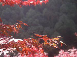 紅葉してる木も若干あり。