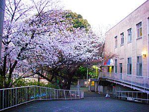 学校の桜。