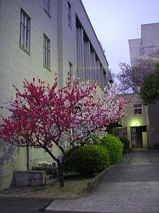 ホール近くのぶちの桜。