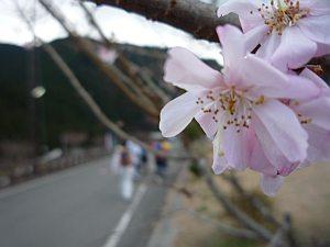 寒桜が咲いてた。