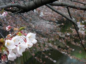 神田川は咲き始めた。
