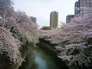 まだ川に花びらが落ちていない状態。