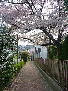 学校前の桜並木。