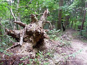 不思議な形の倒木。