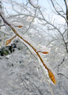 枝やつぼみが氷でコーティングされてます。
