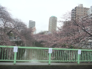 神田川のサクラはもうすぐ。