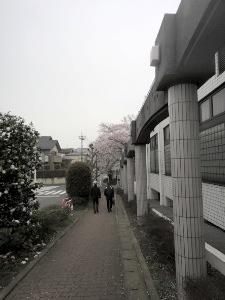 ソメイヨシノがたくさんの通学路。
