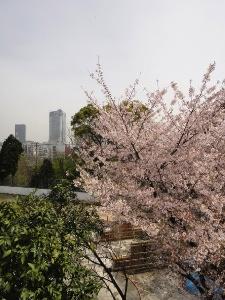 葉桜に近くなった学校のサクラ