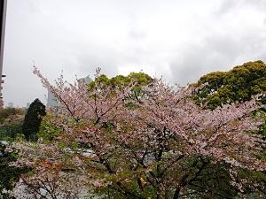教室から見た葉桜。