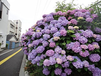 道路脇には紫陽花が。
