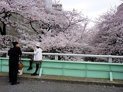 神田川の昼桜
