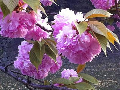 梅疑惑の牡丹桜
