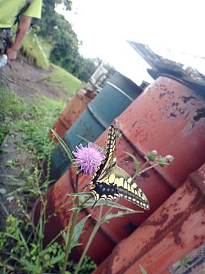 日本で蝶を見たのは久しぶり。