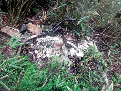 シカの死骸発見
