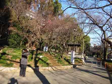 神田川沿いに梅が咲いとる