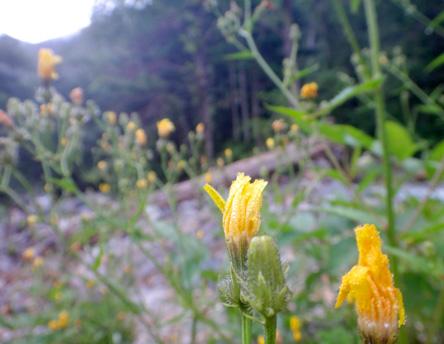 山に来るたびニワカ山草カメラマンとなる