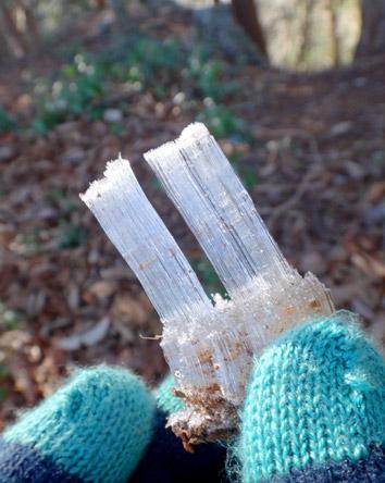 今日の霜柱