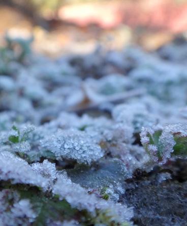 葉っぱにも霜が降りとる