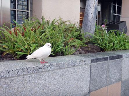 白い鳩がいっぱい。ちょっとだけカワイイ