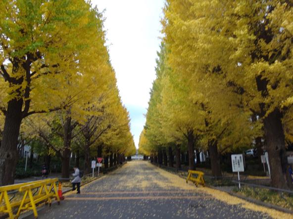 慶応のイチョウ並木