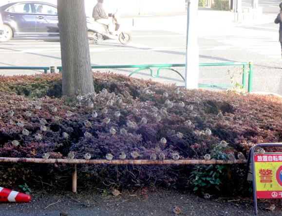 ランピット横の植え込みには避難中のスズメがいっぱい