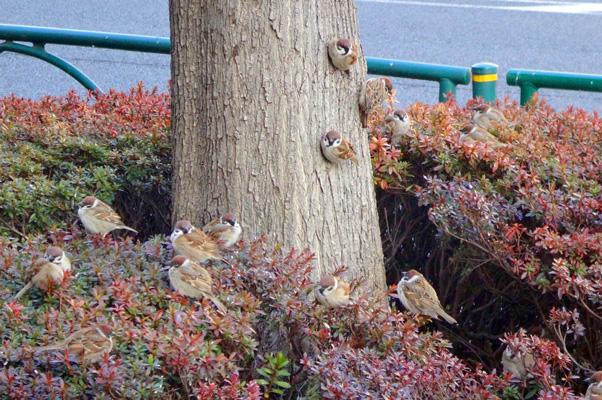 木に貼り付くスズメたち