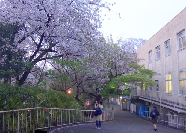 校内の桜もキレイ