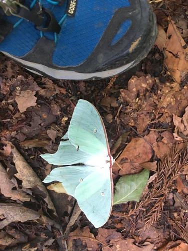 オオミズアオという綺麗な蛾。