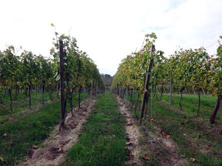 ワイン畑が続く