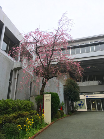学内の桜も見頃になってきた