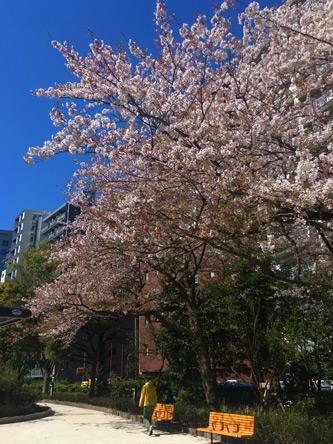 公園の桜も終了に近い